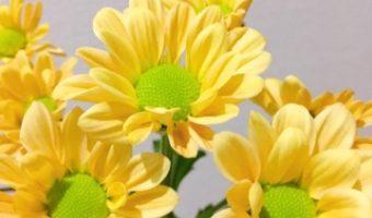 可愛らしい 黄色のスプレーマム